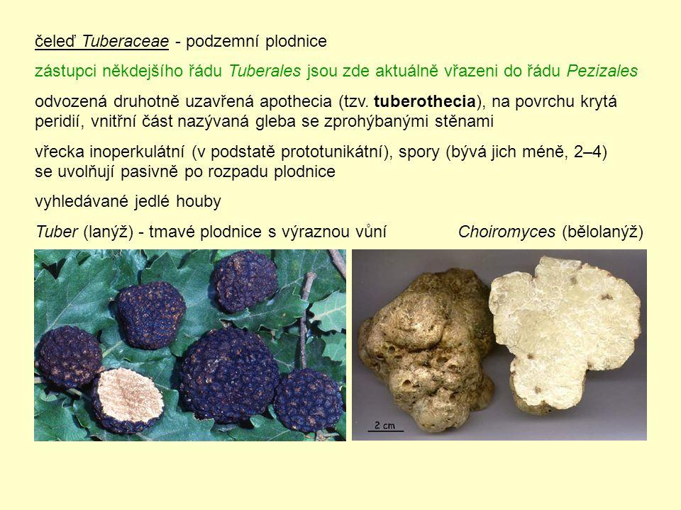 EUROTIOMYCETES – molekulárně vymezený taxon, zahrnující morfologicky heterogenní zástupce Mycocaliciomycetidae [1 řád Mycocaliciales] – zřejmě bazální skupina v rámci třídy Eurotiomycetes – saprotrofové, komenzálové nebo parazité na lišejnících nebo jiných houbách – terčovitá apothecia, přisedlá nebo stopkatá (na snímcích apothecia Phaeocalicium polyporaeum); hyfy ve stopce alespoň zčásti sklerotizované, stejně jako hyfy pohárovitého excipula – uvolňování spor z rouška aktivní (vystřelování z vřecek) nebo pasivní (u těchto zástupců se tvoří mazaedium – rozpadavé pletivo vyplněné výtrusným prachem) – vřecka válcovitá, unitunikátní se ztlustlým vrcholem, v nich 8 spor – askospory jednobuněčné nebo přehrádkované, hladké nebo s ornamentikou – anamorfy: různé formy hyfomycetů nebo coelomycetů – u některých druhů zaznamenána tvorba derivátů kyseliny vulpinové http://de.wikipedia.org/wiki/Mycocaliciales foto Ed Uebel http://tolweb.org/Mycocaliciales/10336