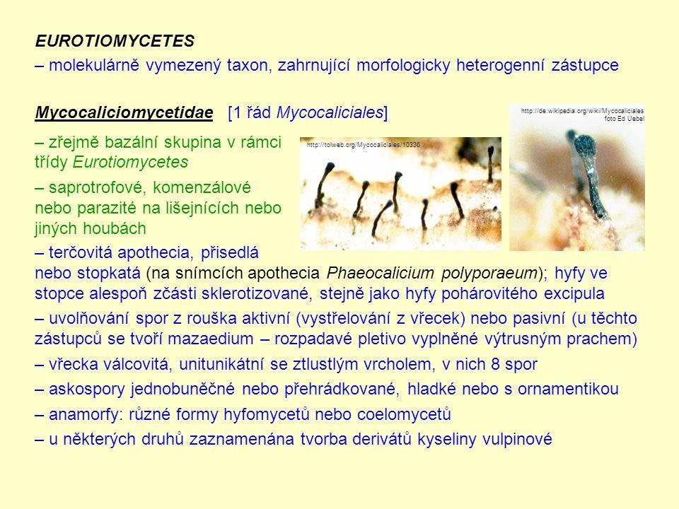 Hypocreomycetidae řád Hypocreales živě zbarvená perithecia, často vnořená do hmoty masitých (též pestrých) stromat někdy se vytváří i sklerocia dvou- až vícebuněčné spory, někdy ve vřecku rozpad (pak zdánlivě 16 spor) převažuje nepohlavní rozmnožování – tvoří blastokonidie, často ve sporodochiích řád zahrnuje saprotrofy i parazity na rostlinách a živočiších zástupci: Hypomyces (nedohub) – paraziti na plodnicích hub (obr.