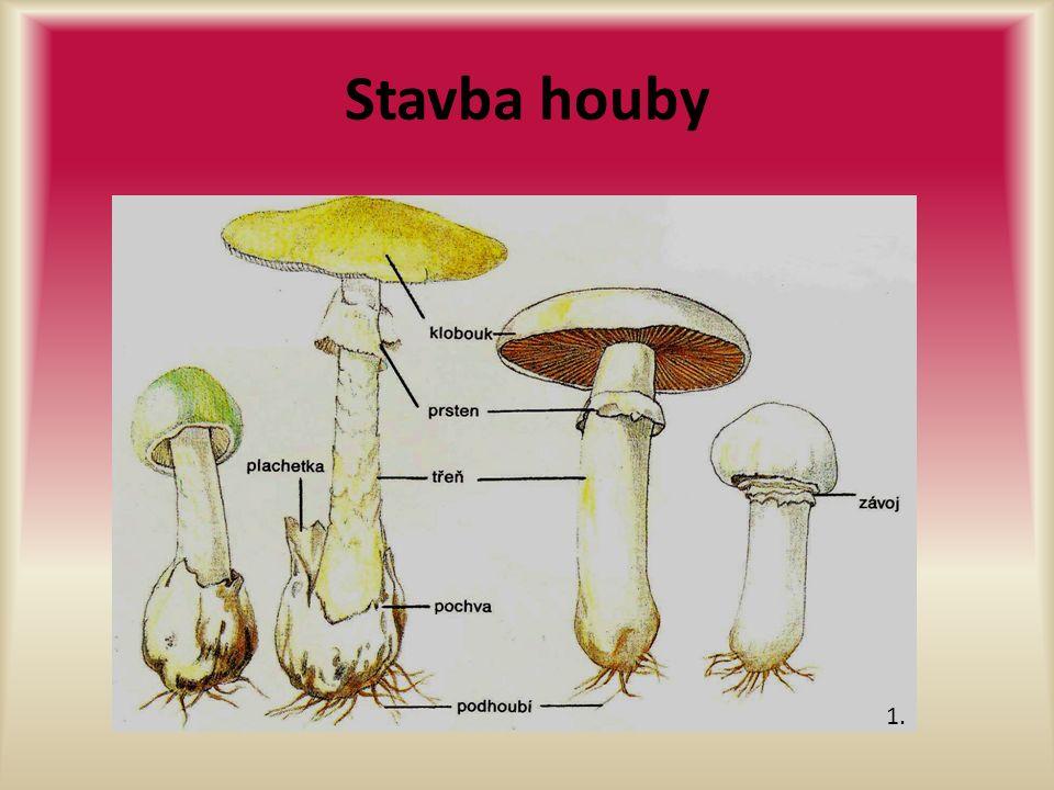Stavba houby 1.