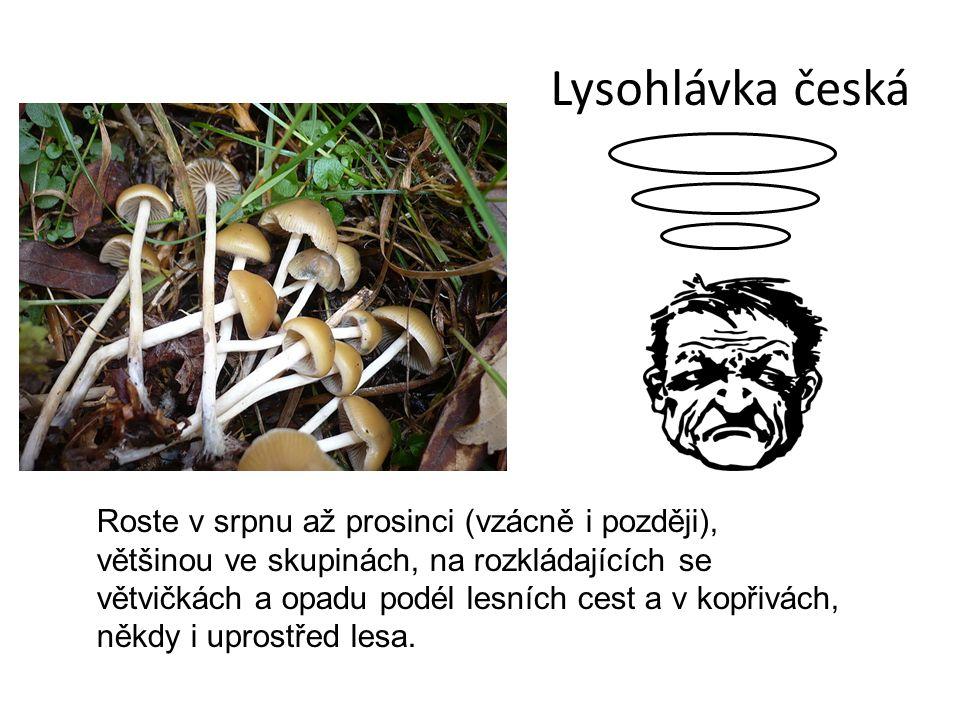 Lysohlávka česká Roste v srpnu až prosinci (vzácně i později), většinou ve skupinách, na rozkládajících se větvičkách a opadu podél lesních cest a v kopřivách, někdy i uprostřed lesa.