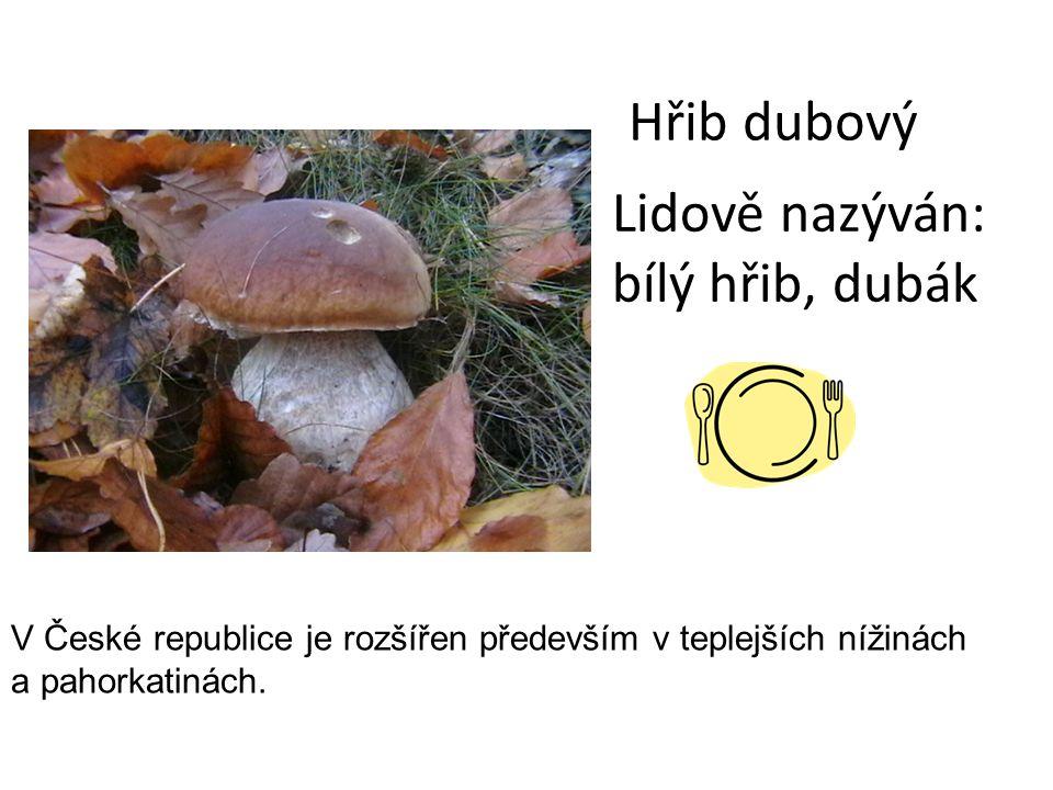 Hřib dubový Lidově nazýván: bílý hřib, dubák V České republice je rozšířen především v teplejších nížinách a pahorkatinách.