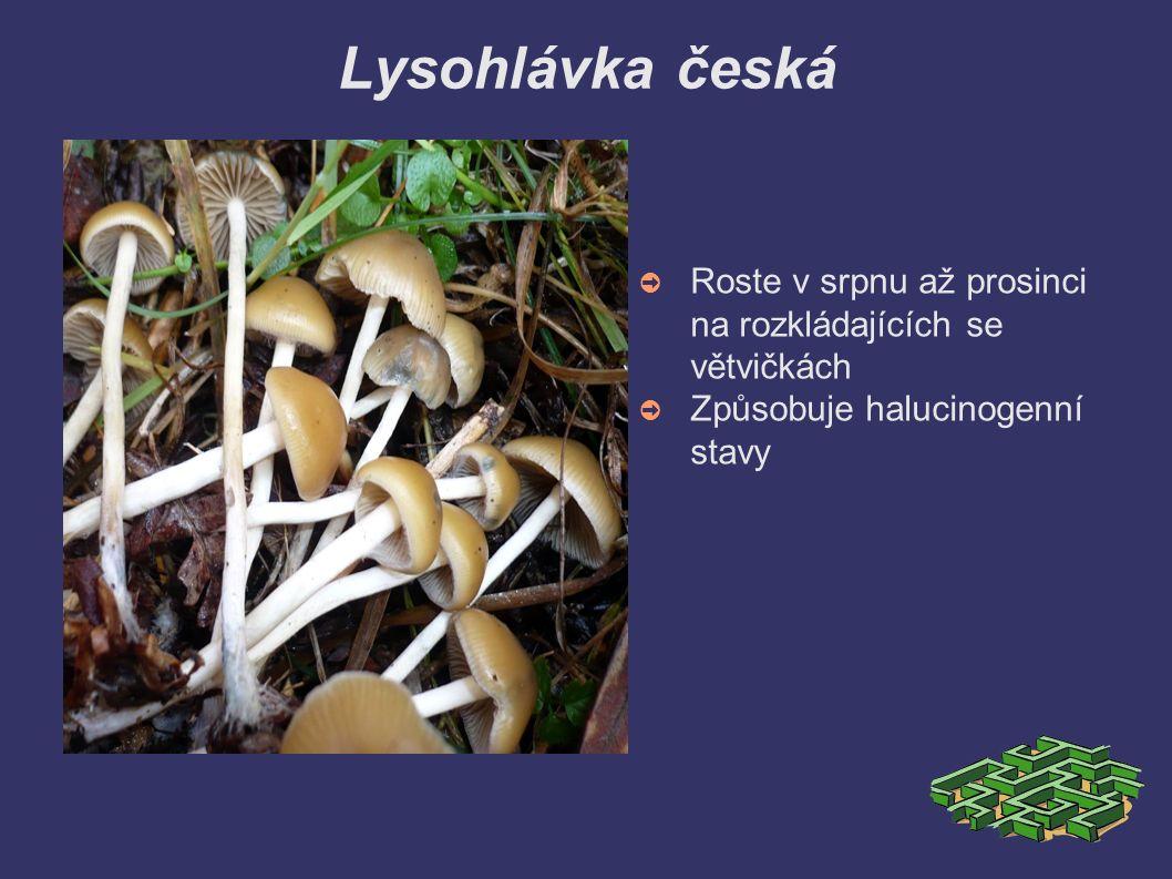 Lysohlávka česká ➲ Roste v srpnu až prosinci na rozkládajících se větvičkách ➲ Způsobuje halucinogenní stavy