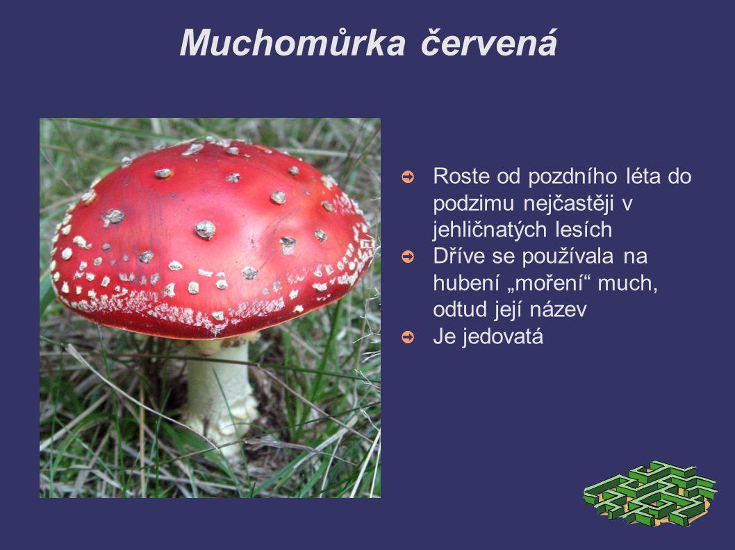 """Muchomůrka červená ➲ Roste od pozdního léta do podzimu nejčastěji v jehličnatých lesích ➲ Dříve se používala na hubení """"moření much, odtud její název ➲ Je jedovatá"""