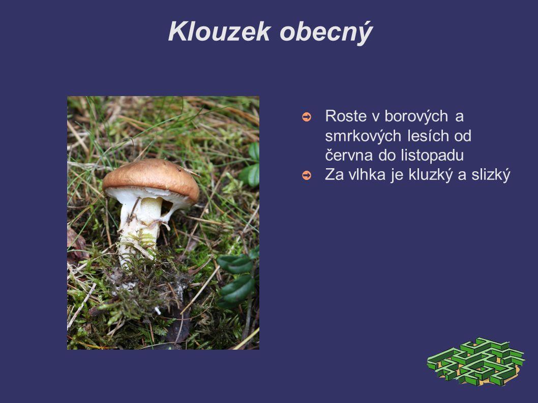 Klouzek obecný ➲ Roste v borových a smrkových lesích od června do listopadu ➲ Za vlhka je kluzký a slizký