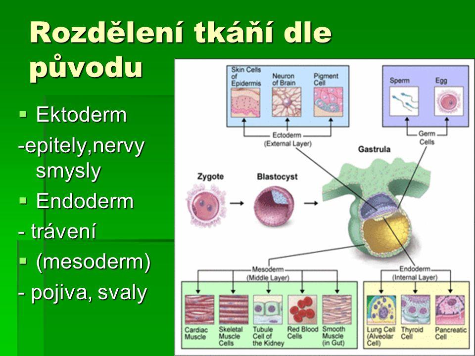 Rozdělení tkáňí dle původu  Ektoderm -epitely,nervy smysly  Endoderm - trávení  (mesoderm) - pojiva, svaly