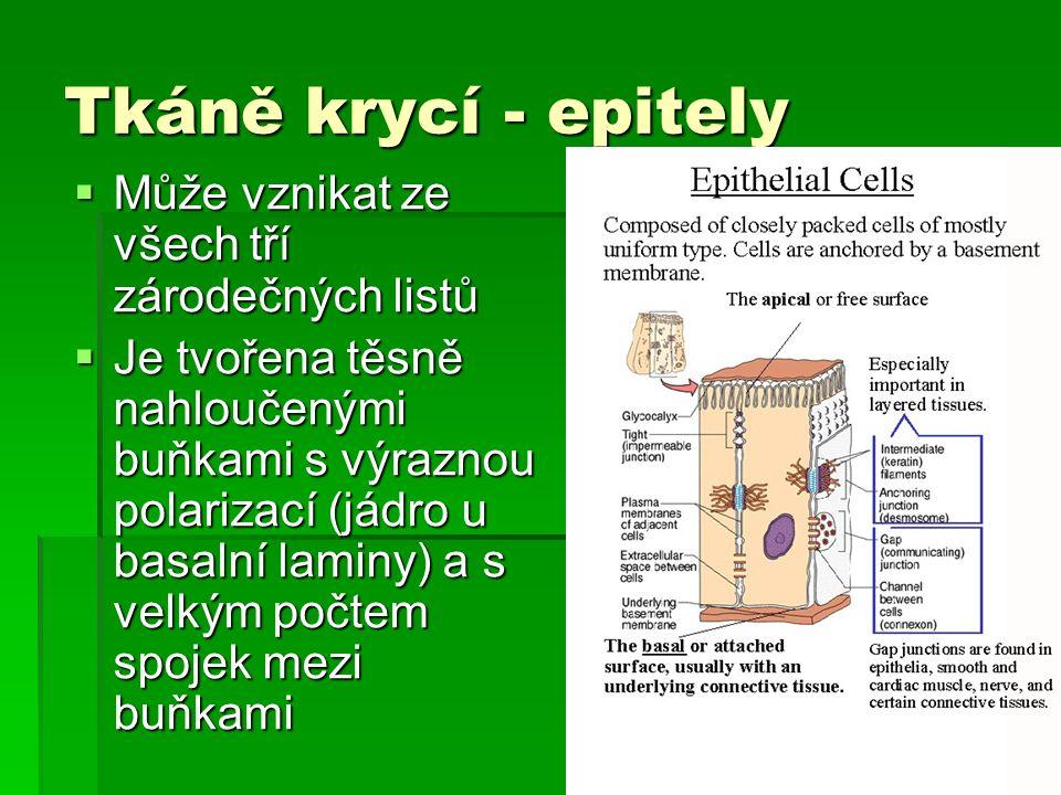 Tkáně krycí - epitely  Může vznikat ze všech tří zárodečných listů  Je tvořena těsně nahloučenými buňkami s výraznou polarizací (jádro u basalní laminy) a s velkým počtem spojek mezi buňkami