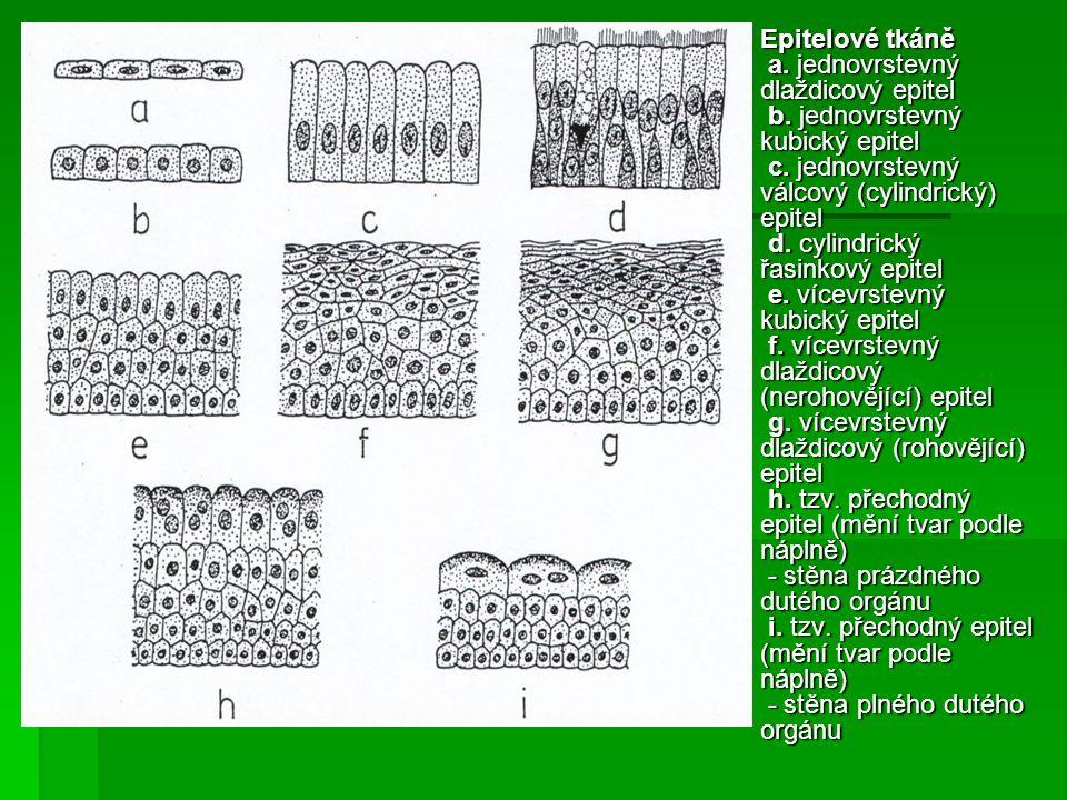 Epitelové tkáně a. jednovrstevný dlaždicový epitel b.
