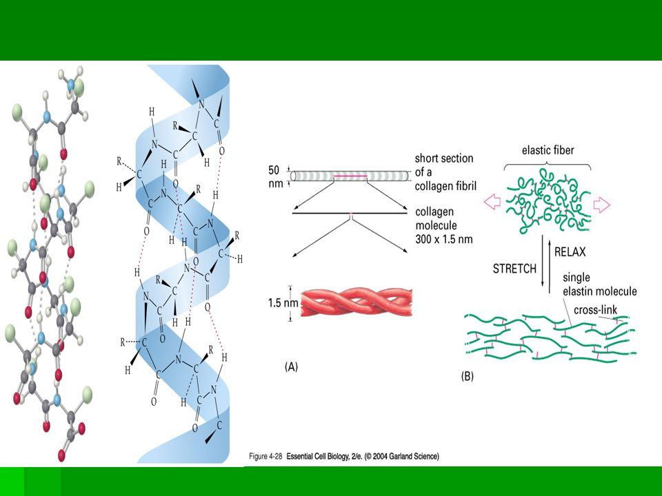 Receprory smyslové tkáňě zrak  retinalní pigmentové epithelium (PE, 1), Müllerovy buňky(2), photoreceptory (5): tyčinky (3) čípky (4), horizontalní buňky (6), bipolarní buňky (9): tyčinkové (7) a čípkové bipolarní buňky (8), amakrinní buňky (10), ganglia nervová (11).