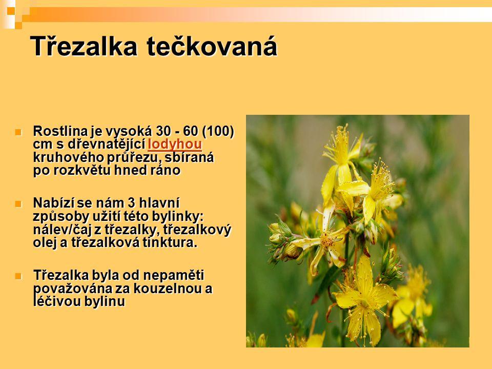 Třezalka tečkovaná Rostlina je vysoká 30 - 60 (100) cm s dřevnatějící lodyhou kruhového průřezu, sbíraná po rozkvětu hned ráno Rostlina je vysoká 30 -