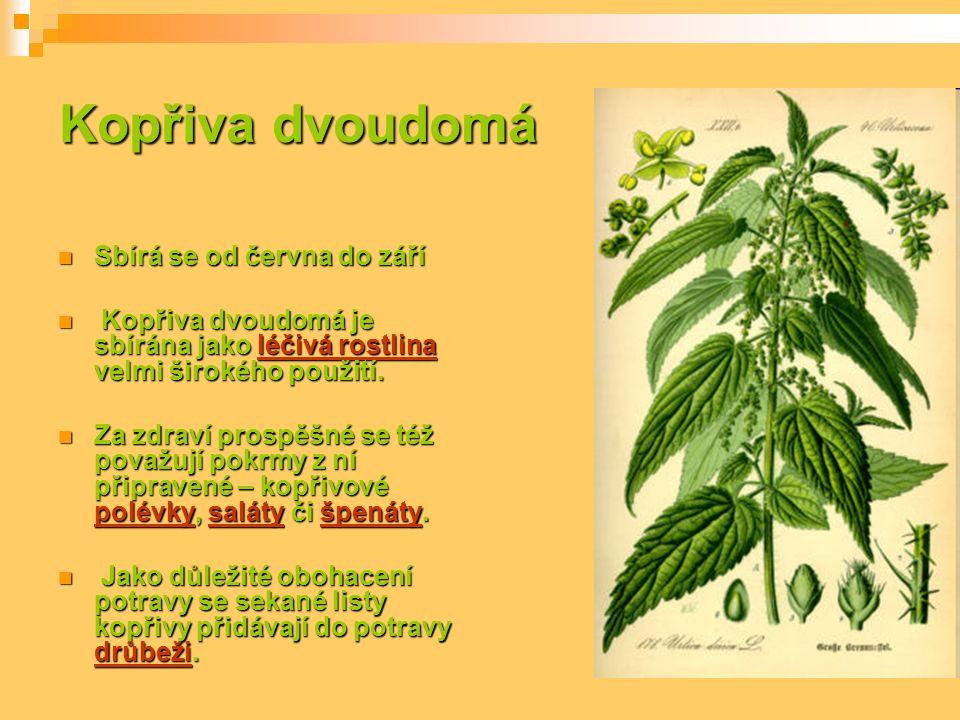 Kopřiva dvoudomá Sbírá se od června do září Sbírá se od června do září Kopřiva dvoudomá je sbírána jako léčivá rostlina velmi širokého použití. Kopřiv