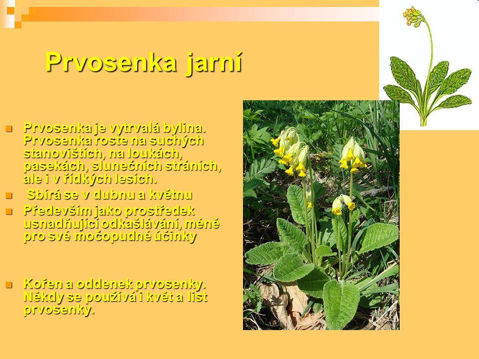 Prvosenka jarní Prvosenka je vytrvalá bylina. Prvosenka roste na suchých stanovištích, na loukách, pasekách, slunečních stráních, ale i v řídkých lesí