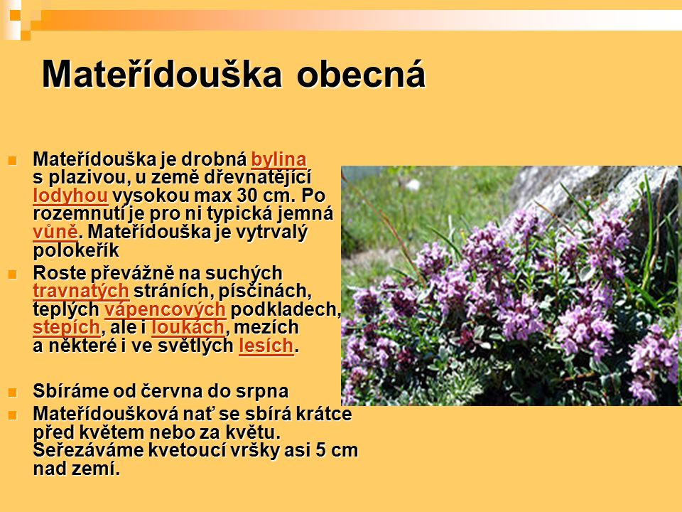 Mateřídouška obecná Mateřídouška je drobná bylina s plazivou, u země dřevnatějící lodyhou vysokou max 30 cm. Po rozemnutí je pro ni typická jemná vůně