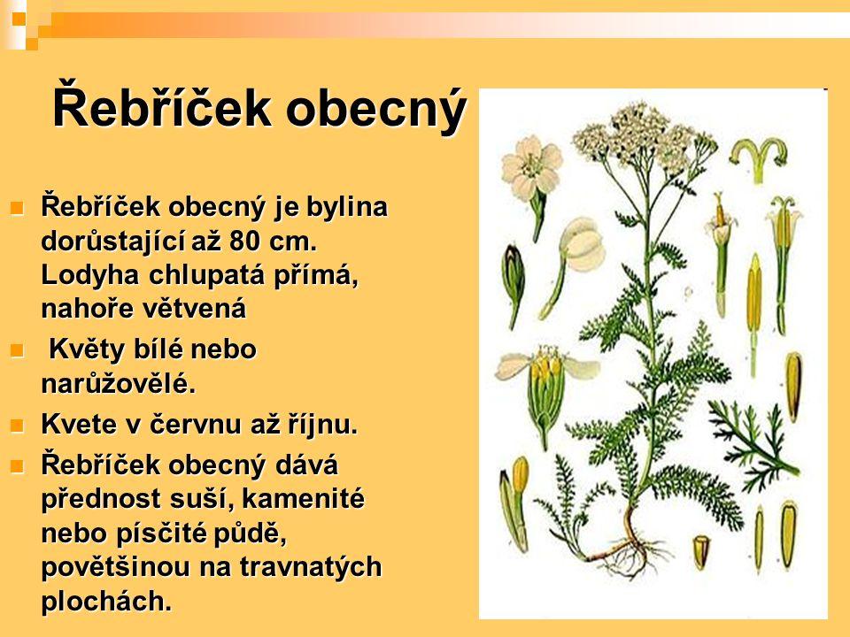 Řebříček obecný Řebříček obecný je bylina dorůstající až 80 cm. Lodyha chlupatá přímá, nahoře větvená Řebříček obecný je bylina dorůstající až 80 cm.