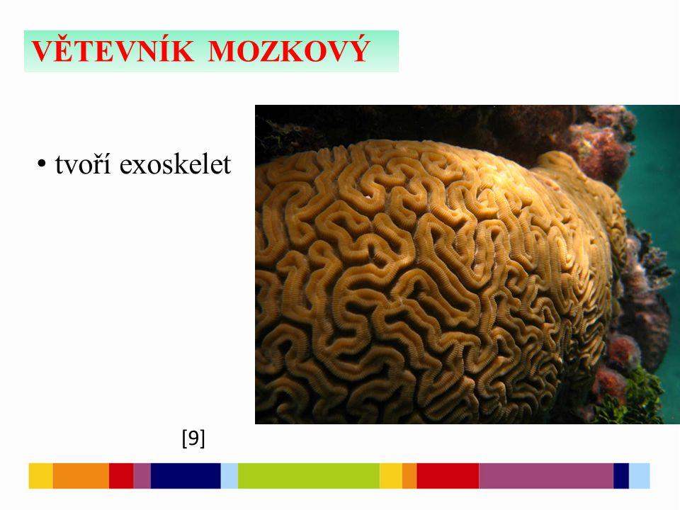 VĚTEVNÍK MOZKOVÝ [9] tvoří exoskelet