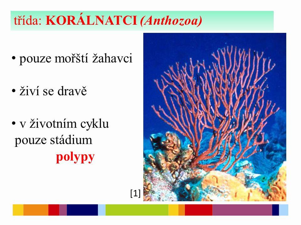 [1] třída: KORÁLNATCI (Anthozoa) pouze mořští žahavci živí se dravě v životním cyklu pouze stádium polypy