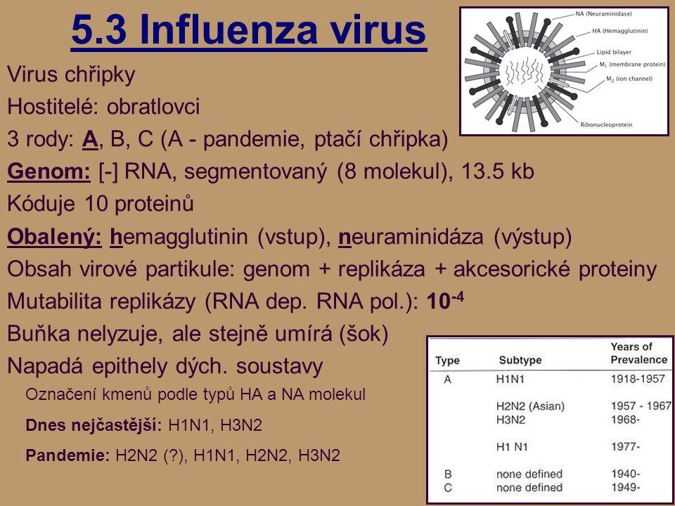 5.3 Influenza virus Virus chřipky Hostitelé: obratlovci 3 rody: A, B, C (A - pandemie, ptačí chřipka) Genom: [-] RNA, segmentovaný (8 molekul), 13.5 kb Kóduje 10 proteinů Obalený: hemagglutinin (vstup), neuraminidáza (výstup) Obsah virové partikule: genom + replikáza + akcesorické proteiny Mutabilita replikázy (RNA dep.