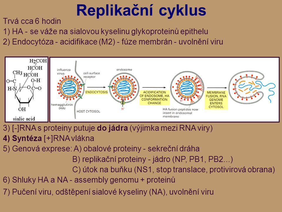 Replikační cyklus Trvá cca 6 hodin 1) HA - se váže na sialovou kyselinu glykoproteinů epithelu 2) Endocytóza - acidifikace (M2) - fúze membrán - uvolnění viru 3) [-]RNA s proteiny putuje do jádra (výjimka mezi RNA viry) 4) Syntéza [+]RNA vlákna 5) Genová exprese: A) obalové proteiny - sekreční dráha B) replikační proteiny - jádro (NP, PB1, PB2...) C) útok na buňku (NS1, stop translace, protivirová obrana) 6) Shluky HA a NA - assembly genomu + proteinů 7) Pučení viru, odštěpení sialové kyseliny (NA), uvolnění viru