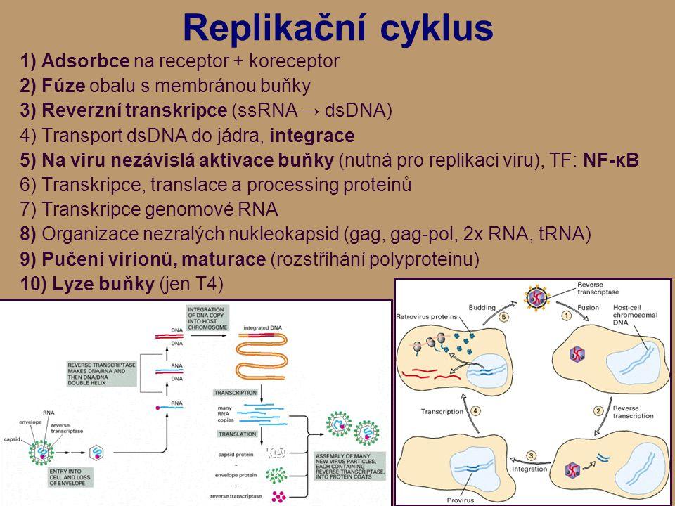 Replikační cyklus 1) Adsorbce na receptor + koreceptor 2) Fúze obalu s membránou buňky 3) Reverzní transkripce (ssRNA → dsDNA) 4) Transport dsDNA do jádra, integrace 5) Na viru nezávislá aktivace buňky (nutná pro replikaci viru), TF: NF-κB 6) Transkripce, translace a processing proteinů 7) Transkripce genomové RNA 8) Organizace nezralých nukleokapsid (gag, gag-pol, 2x RNA, tRNA) 9) Pučení virionů, maturace (rozstříhání polyproteinu) 10) Lyze buňky (jen T4)