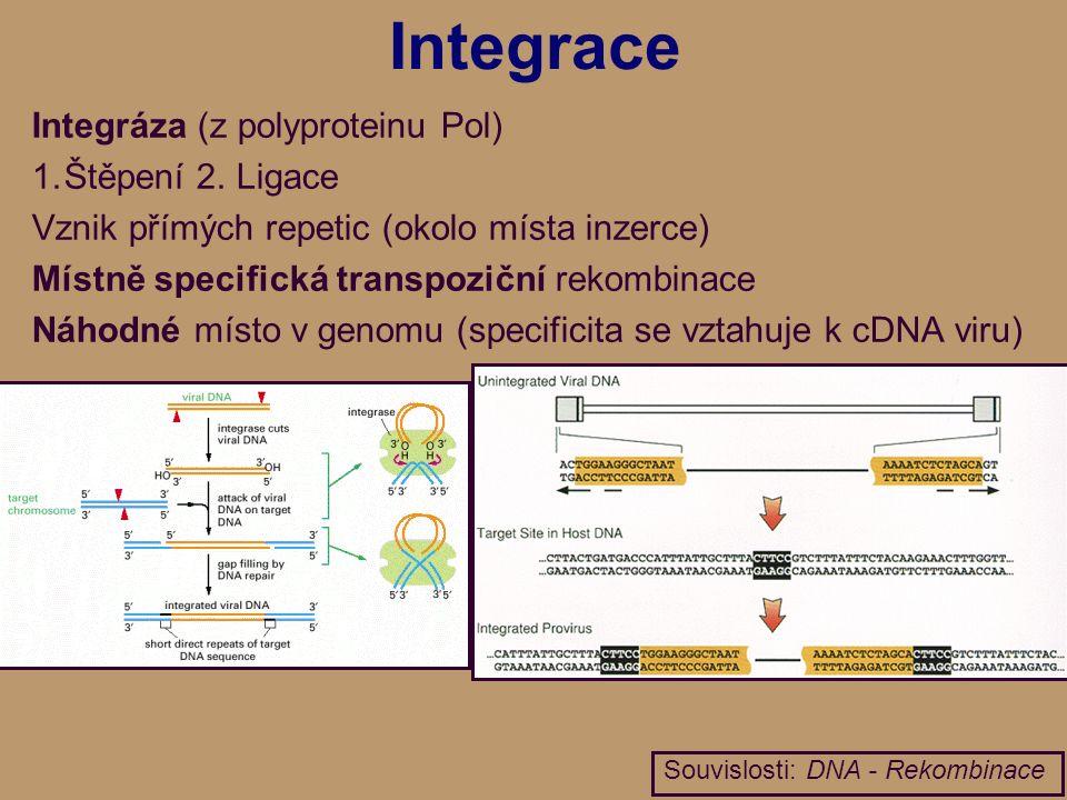Integrace Integráza (z polyproteinu Pol) 1.Štěpení 2.