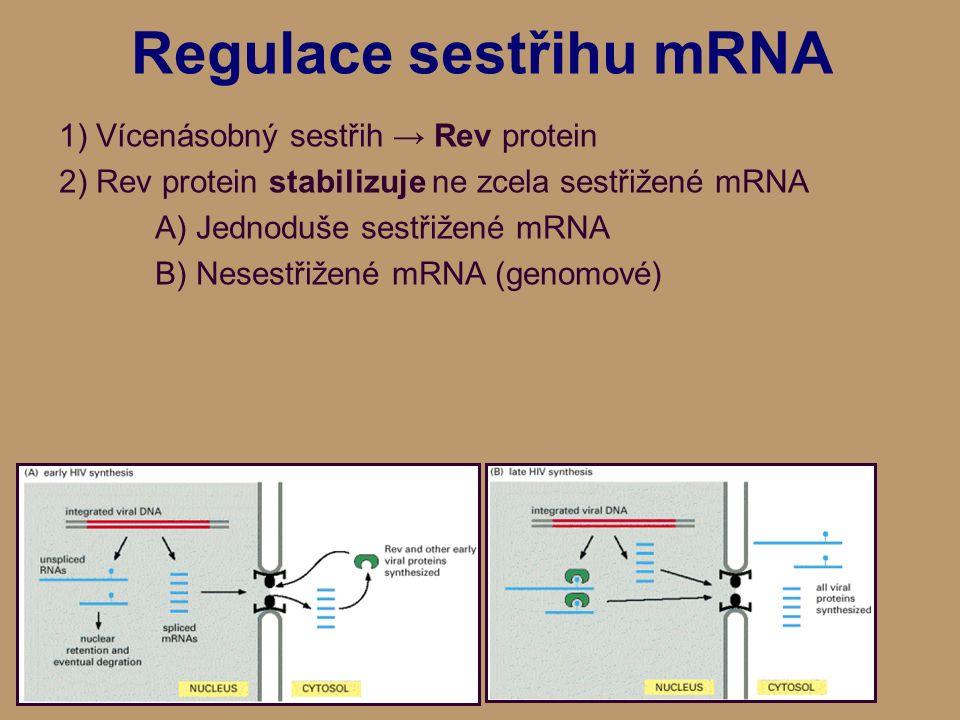 Regulace sestřihu mRNA 1) Vícenásobný sestřih → Rev protein 2) Rev protein stabilizuje ne zcela sestřižené mRNA A) Jednoduše sestřižené mRNA B) Nesestřižené mRNA (genomové)