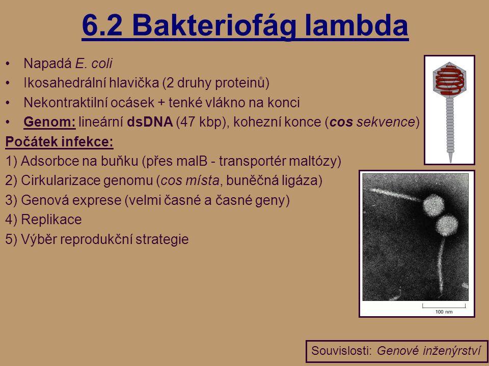 6.2 Bakteriofág lambda Napadá E.