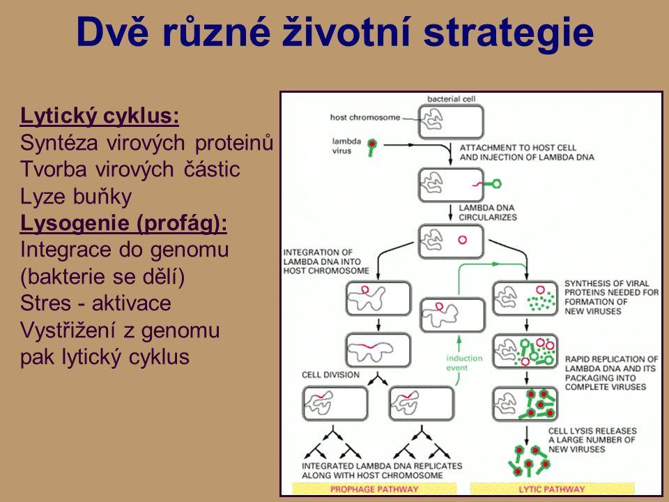 Dvě různé životní strategie Lytický cyklus: Syntéza virových proteinů Tvorba virových částic Lyze buňky Lysogenie (profág): Integrace do genomu (bakterie se dělí) Stres - aktivace Vystřižení z genomu pak lytický cyklus