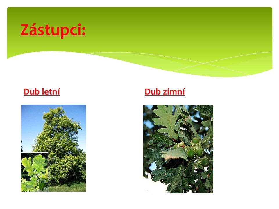  Jednodomé dřeviny. Větrosnubné květy tvoří jehnědy. Opylovány větrem. Plod: nažka, oříšek. Obalen číškou. Rozšiřují ptáci, savci. Hospodářsky význam