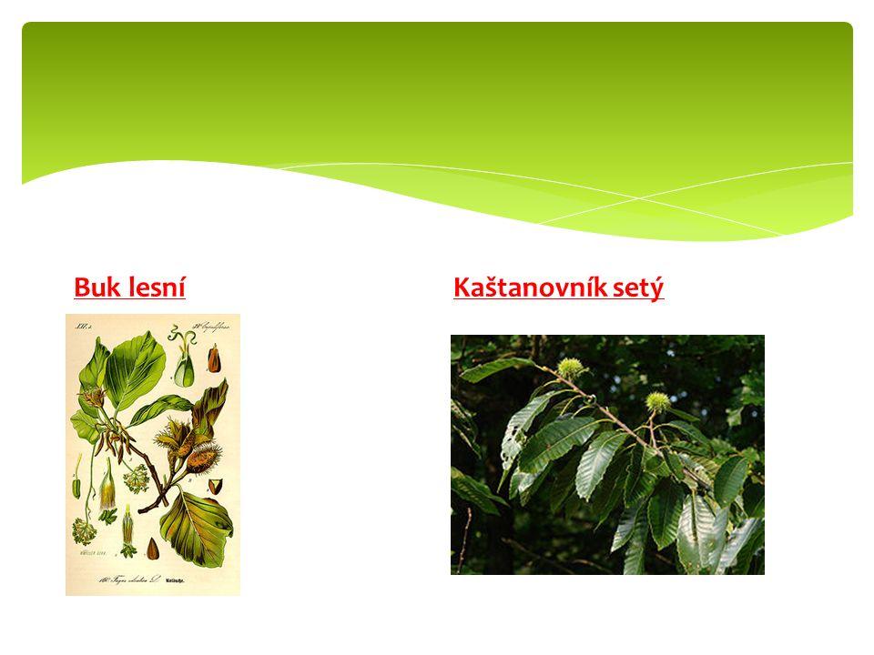 Nejvíce se pěstuje ve středomoří a severní Africe.