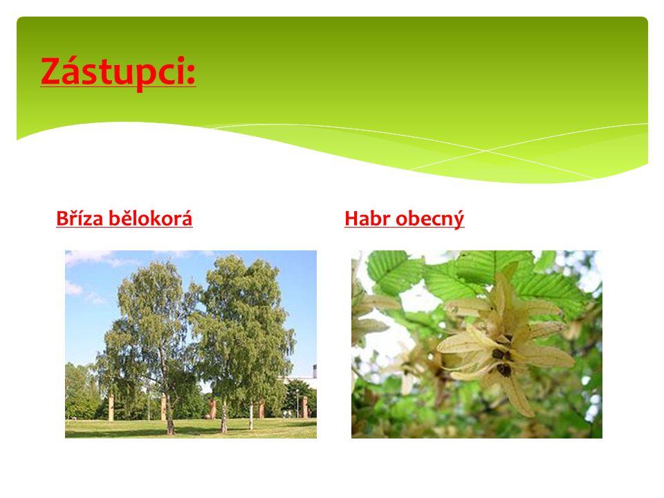 - Větrosnubné dřeviny. - Drobné květy tvoří jehnědy. - Plod: nažka, oříšek. Rozšiřuje je vítr, voda, hlodavci. - Hospodářsky významné – dřevo, oříšky.