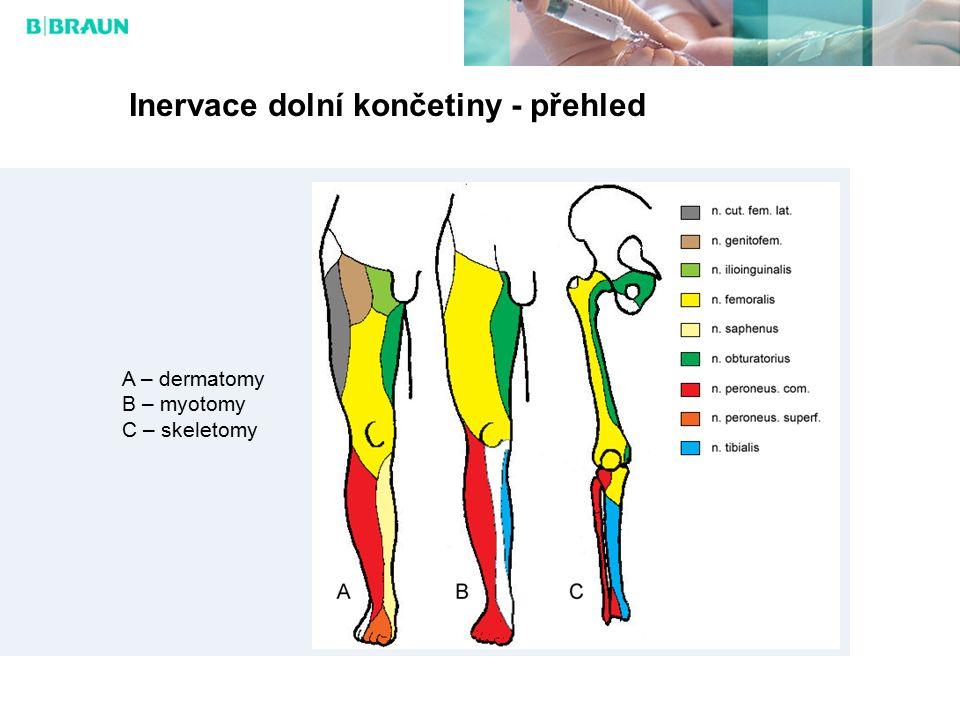 Inervace dolní končetiny - přehled A – dermatomy B – myotomy C – skeletomy