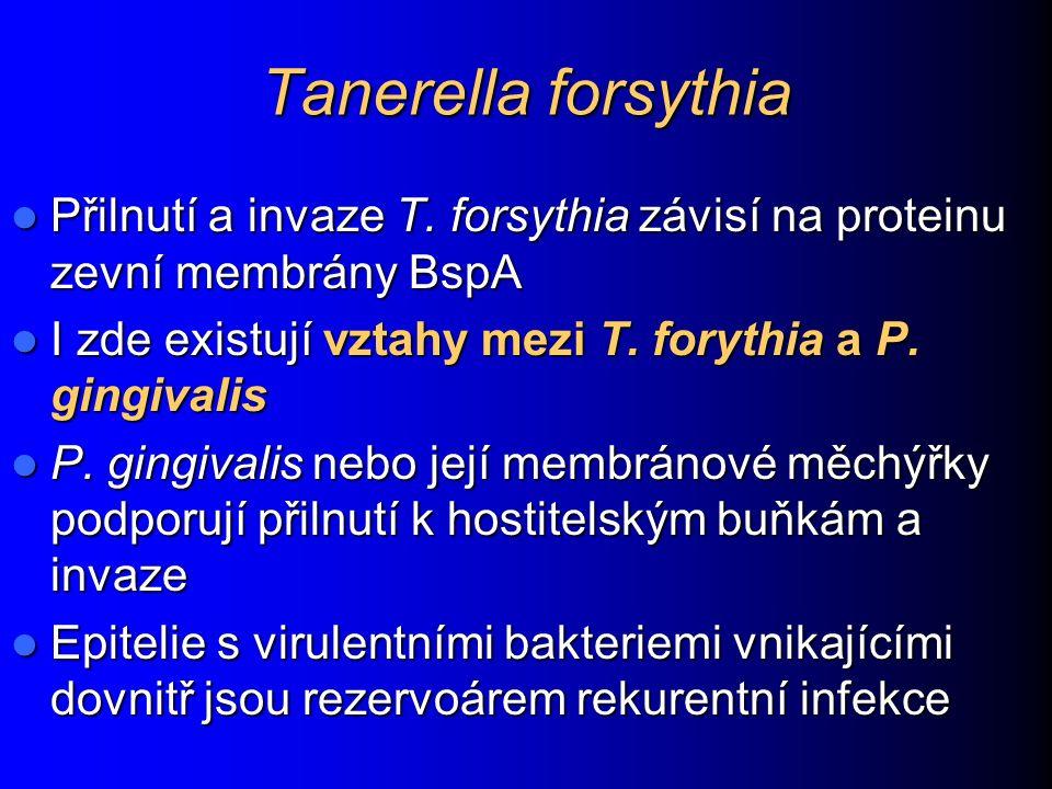 Tanerella forsythia Přilnutí a invaze T. forsythia závisí na proteinu zevní membrány BspA Přilnutí a invaze T. forsythia závisí na proteinu zevní memb