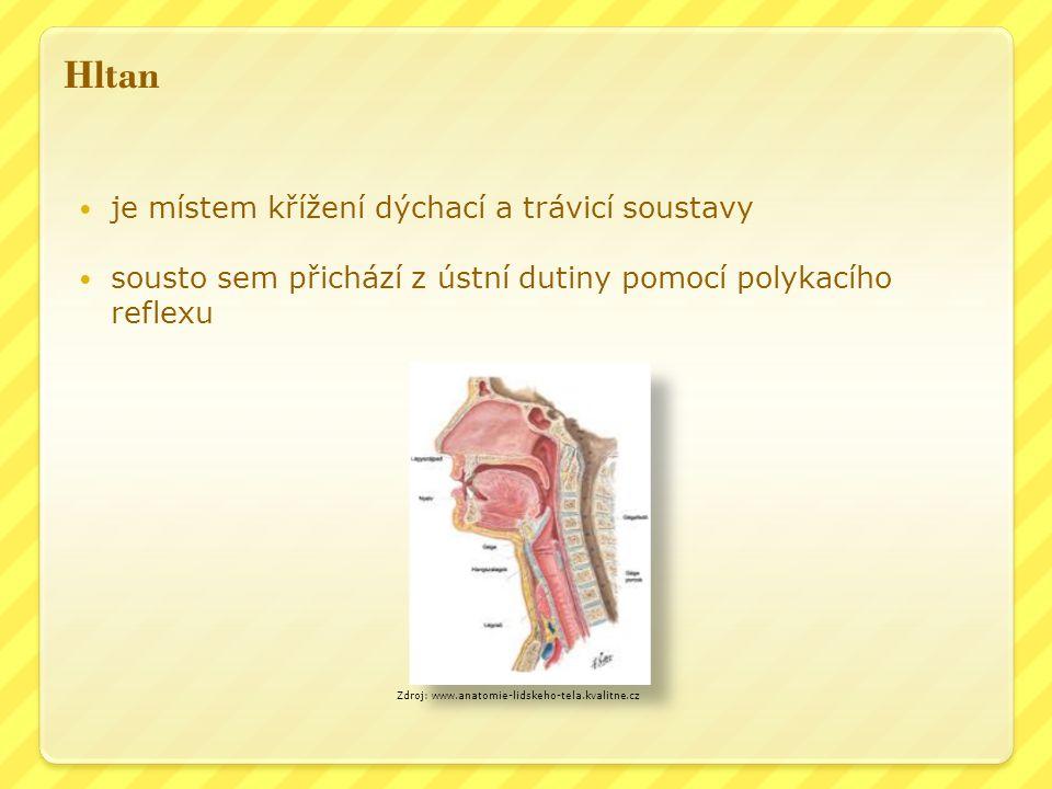 Hltan je místem křížení dýchací a trávicí soustavy sousto sem přichází z ústní dutiny pomocí polykacího reflexu Zdroj: www.anatomie-lidskeho-tela.kvalitne.cz