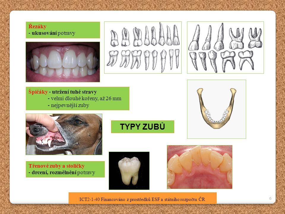 7 ICT2-1-40 Financováno z prostředků ESF a státního rozpočtu ČR Stavba zubu 3 ZÁKLADNÍ ČÁSTI ZUBU - KORUNKA - KRČEK - KOŘEN Vnitřní stavba zubu : a) Povrch zubu - sklovina (korunka) - cement (krček, kořen) b) Vrstva zuboviny c) Zubní dřeň – nervy a krevní vlásečnice Zubní sklovina – nejtvrdší hmota lidského těla, není živá, v případě poškození se sama nemůže obnovit, obsahuje sloučeniny Ca Zubovina – pevná tkáň, podobná stavbou kostní tkáni Zubní dřeň – vnitřní část zubu, měkká, prokrvená, jsou v ní citlivá nervová zakončení, vlákna Kořen zubu – upevněn v zubním lůžku => umožňuje velmi silný stisk zubů, Onemocnění: zubní kaz - paradentoza Otázka: Kdo je stomatolog.