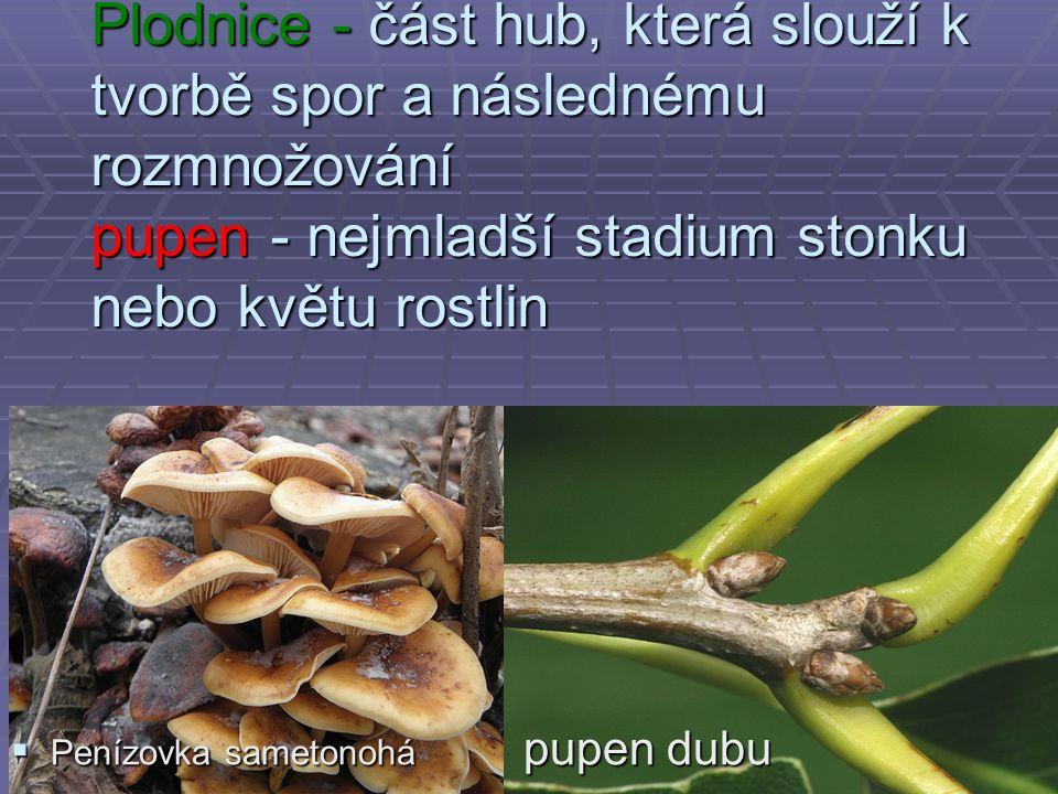 Plodnice - část hub, která slouží k tvorbě spor a následnému rozmnožování pupen - nejmladší stadium stonku nebo květu rostlin  Penízovka sametonohá pupen dubu