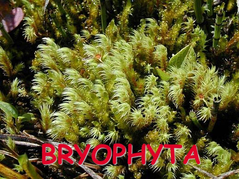 Bryopsida zListnatá rostlinka z1 buňka = mnoho chloroplastů zžebro (někdy s lamelami) ztobolka na pevném štětu, s kolumelou, různého tvaru, v mládí zelená, dozrává naráz, otvírá se pomocí peristomu, v mládí s víčkem a čepičkou (kalyptra) zspory; bez elater ANDREAEA SPHAGNUM ATRICHUM BRYUM HYPNUM CUPRESSIFORME ORTHOTRICHUM sp.