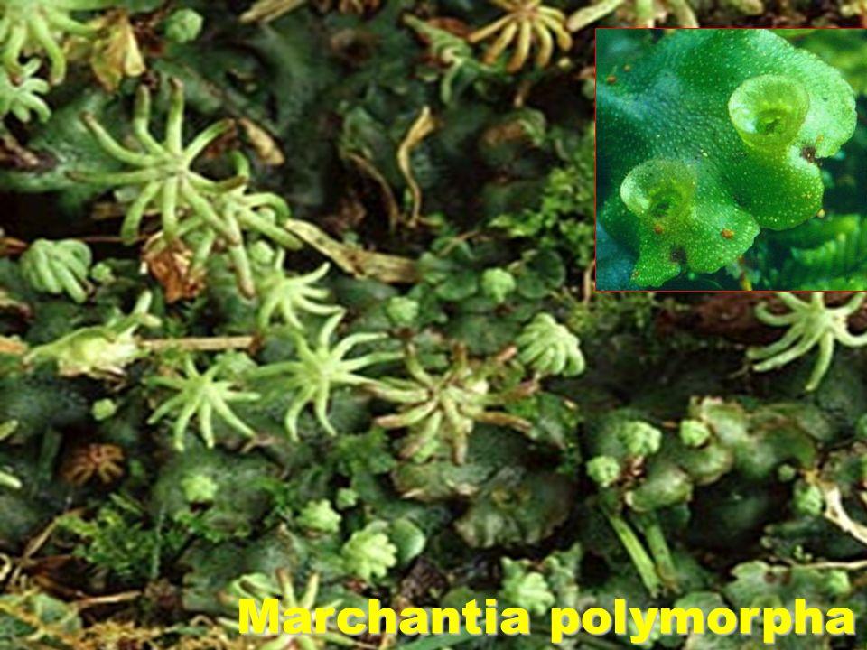 PELLIA epiphylla CHILOSCYPHUS sp. Conocephalum Mylia Trichocolea Lepidozia Marchantia polymorpha