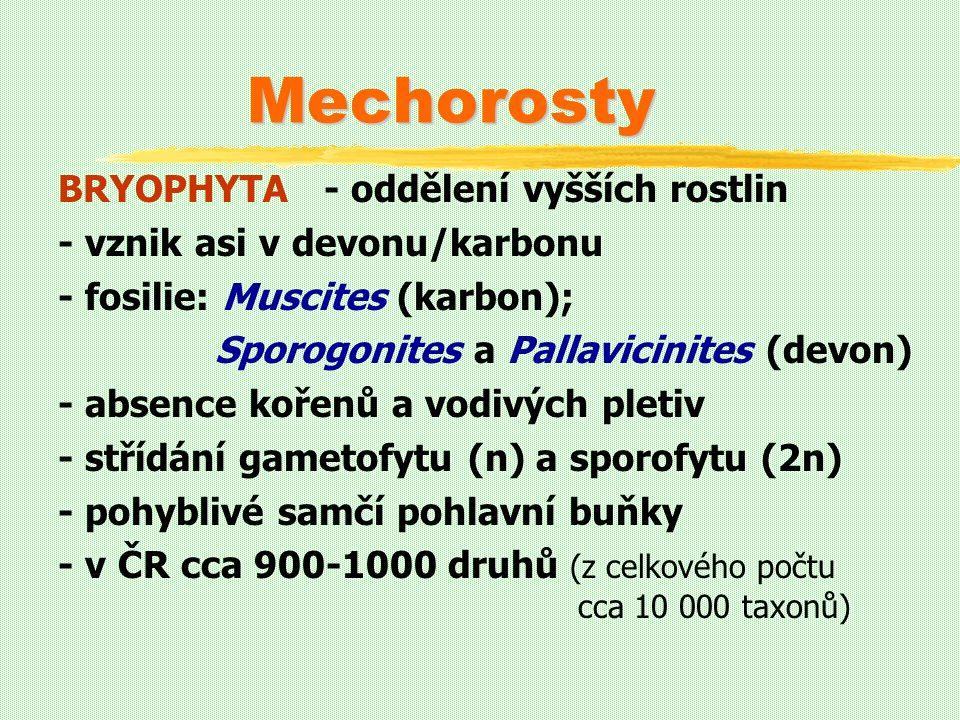 Mechorosty BRYOPHYTA - oddělení vyšších rostlin - vznik asi v devonu/karbonu - fosilie: Muscites (karbon); Sporogonites a Pallavicinites (devon) - absence kořenů a vodivých pletiv - střídání gametofytu (n) a sporofytu (2n) - pohyblivé samčí pohlavní buňky - v ČR cca 900-1000 druhů (z celkového počtu cca 10 000 taxonů)