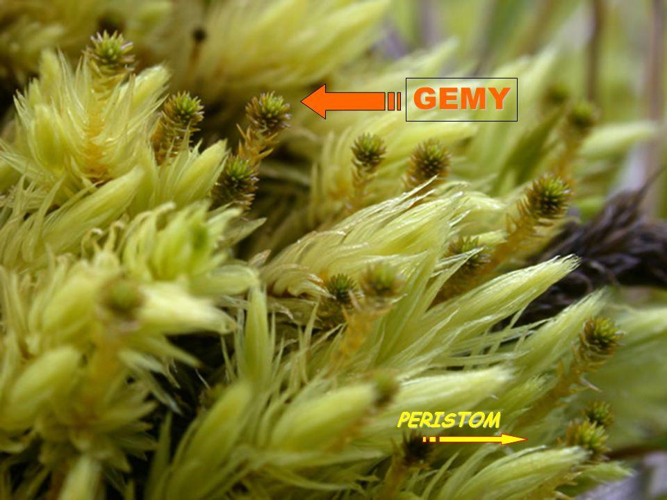 Rozmnožování zPohlavní: tvorba gamet / spor - samčí spermatozoidy (2 bičíky) - samičí vaječné buňky (nepohyblivé) * rozšiřování na velké vzdálenosti zNepohlavní: tvorba gem * posilování stávající populace OOGAMIE anteridium archegonium Tobolka a peristom GEMY PERISTOM
