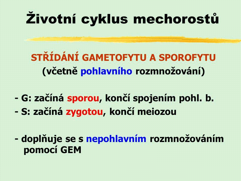 Životní cyklus mechorostů STŘÍDÁNÍ GAMETOFYTU A SPOROFYTU (včetně pohlavního rozmnožování) - G: začíná sporou, končí spojením pohl. b. - S: začíná zyg