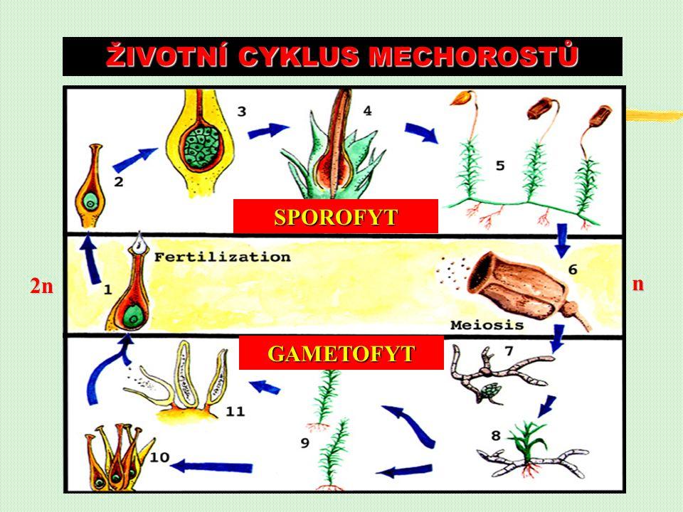ŽIVOTNÍ CYKLUS MECHOROSTŮ n 2n SPOROFYT GAMETOFYT