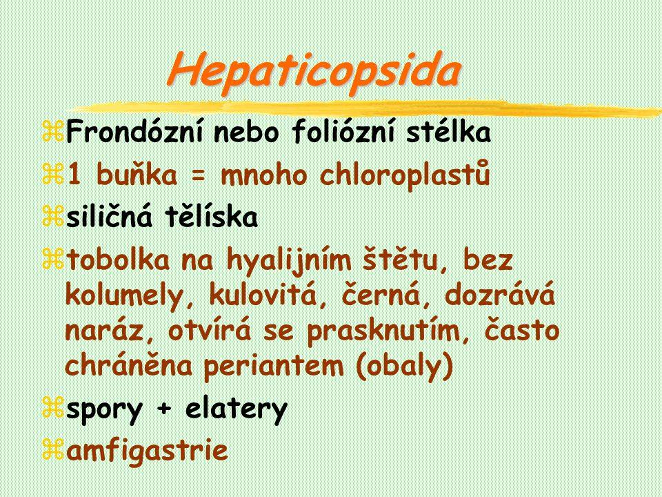 Hepaticopsida zFrondózní nebo foliózní stélka z1 buňka = mnoho chloroplastů zsiličná tělíska ztobolka na hyalijním štětu, bez kolumely, kulovitá, černá, dozrává naráz, otvírá se prasknutím, často chráněna periantem (obaly) zspory + elatery zamfigastrie