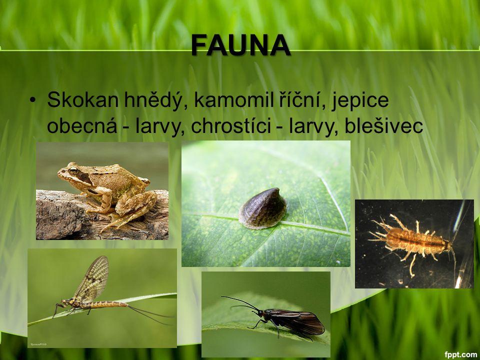 FAUNA Skokan hnědý, kamomil říční, jepice obecná - larvy, chrostíci - larvy, blešivec