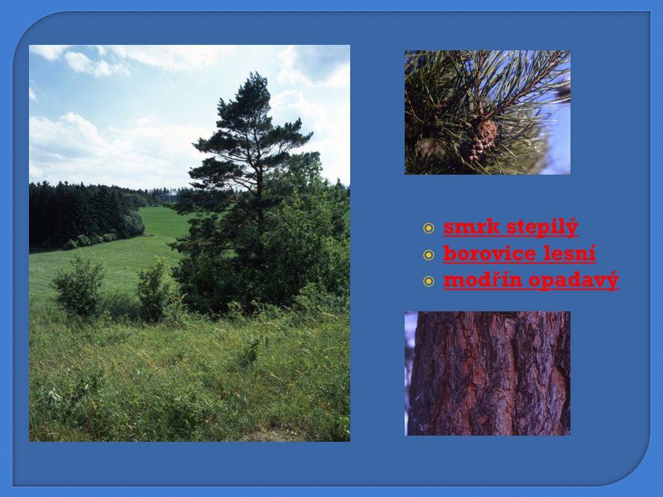  smrk stepilý smrk stepilý  borovice lesní borovice lesní  modřín opadavý modřín opadavý