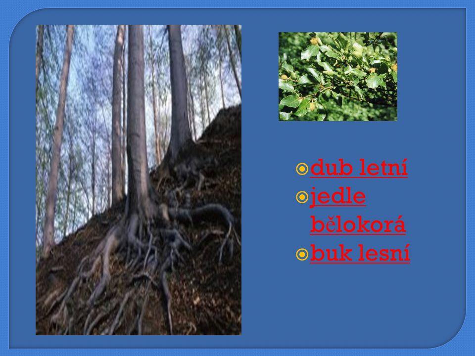  dub letní dub letní  jedle bělokorá jedle bělokorá  buk lesní buk lesní