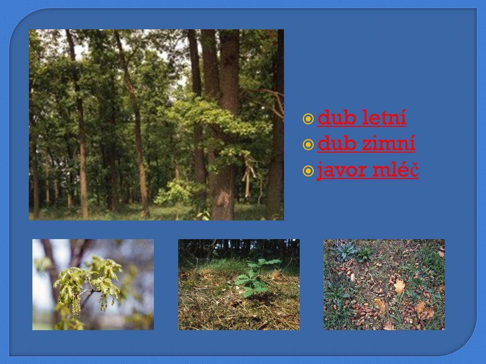  dub letní dub letní  dub zimní dub zimní  javor mléč javor mléč