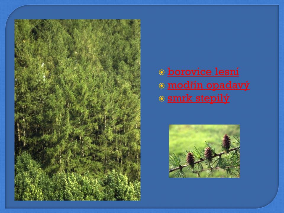  borovice lesní borovice lesní  modřín opadavý modřín opadavý  smrk stepilý smrk stepilý