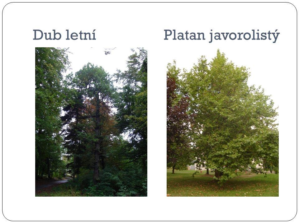 Dub letní Platan javorolistý