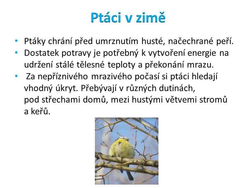 Ptáky chrání před umrznutím husté, načechrané peří. Dostatek potravy je potřebný k vytvoření energie na udržení stálé tělesné teploty a překonání mraz