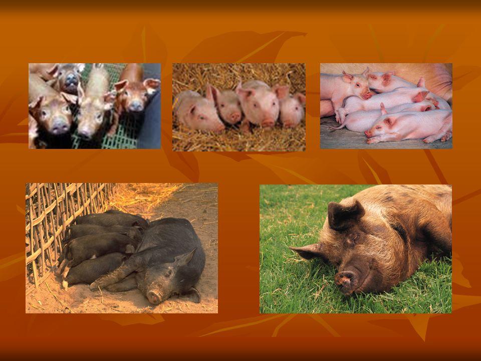 Kozy KRMENÍ: tráva a seno,zelenina a ovoce PLEMENA: Bílá krátkosrstá,Kamerunská, koza kašmírová,koza anglonubijská VYUŽITÍ: maso,mléko,sýry ZAJÍMAVOST: Kamerunská koza vydrží až týden bez vody