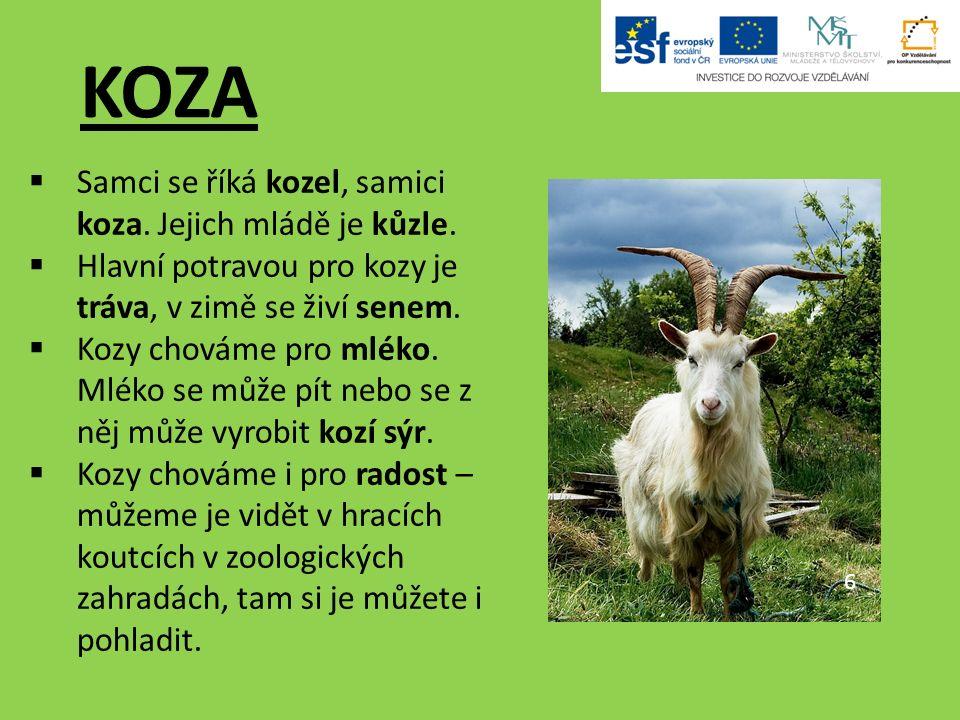 KOZA 6  Samci se říká kozel, samici koza.Jejich mládě je kůzle.